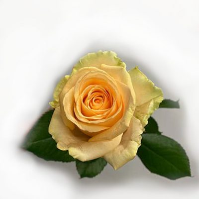 gul ros (yellow rose)
